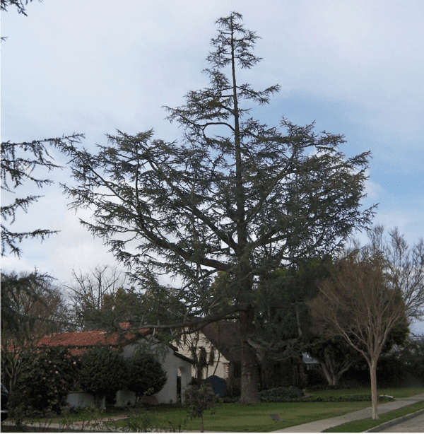 Cypress Tree Service, Removal - Rob's Tree Service of Orange County